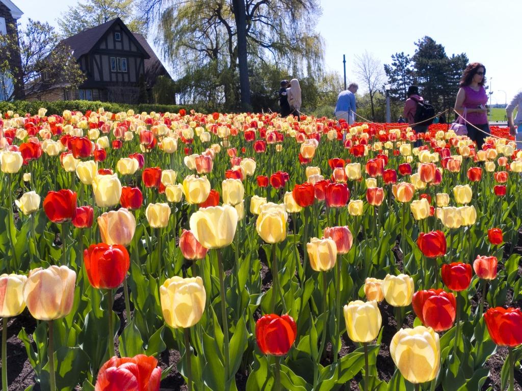 Tulip Festival, Ottawa, Canada Jigsaw Puzzle In Flowers