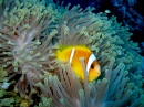 Red Sea Anemonefish in Anemone