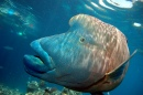 Humphead Wrasse, Great Barrier Reef