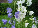 Willow Bellflower
