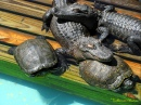 Turtles and Gators Snoozing at Gatorland