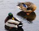 The Mating Habits of Mallards