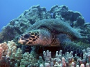 Hawksbill Turtle, Hawaii