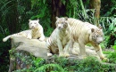 White Tigers, Singapore Zoo