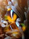Pair of Anemonefish