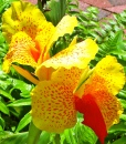 Canna - Yellow/Red Flower