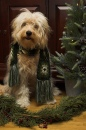 Goldendoodle Christmas