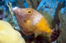 Whitespot Filefish, Netherland Antilles