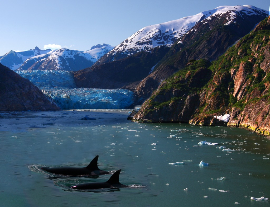 killer whales of alaska jigsaw puzzle in animals puzzles on