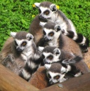 Lemurs at Colchester Zoo