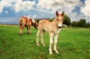 Belgian Draft Horse with a Foal
