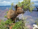 Young Elk in Grand Canyon NP