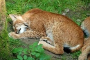 Sleeping Lynxes