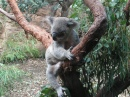 Koala, Sydney Aquarium and Wildlife World