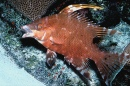 Young Hogfish in Curaçao
