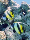 Pair of Bannerfish on Temple Reef