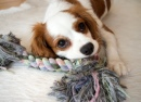 Scarlett the Cavalier King Charles Spaniel