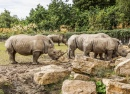 White Rhinos in Dublin Zoo