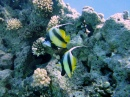 Bannerfish on Temple Reef