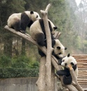 Giant Pandas in Wolong, China