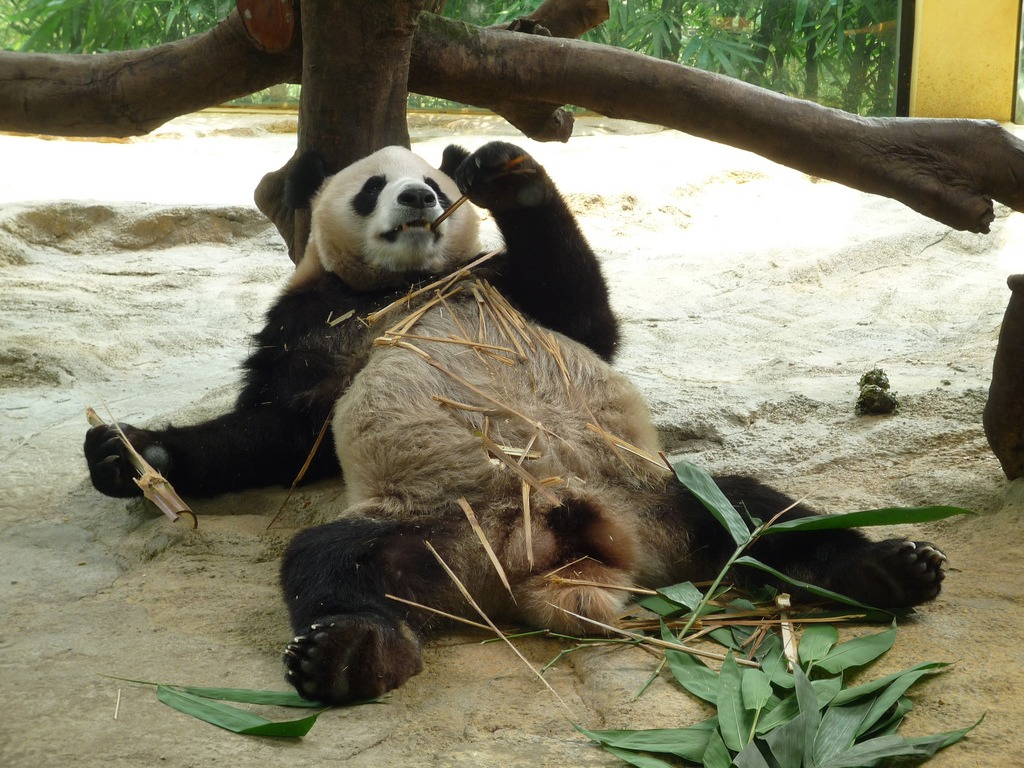 Panda + Bamboo = Lazy Panda jigsaw puzzle in Animals ...