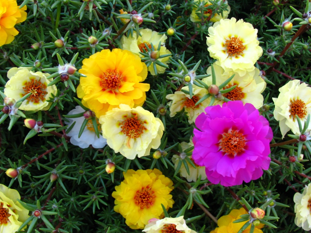 Portulaca or moss rose jigsaw puzzle in flowers puzzles for Drought resistant grass crossword clue