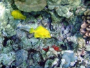 Coral Reefs with Yellow Tangs at Kona