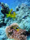 Anemone & Clownfish, Middle Garden Reef