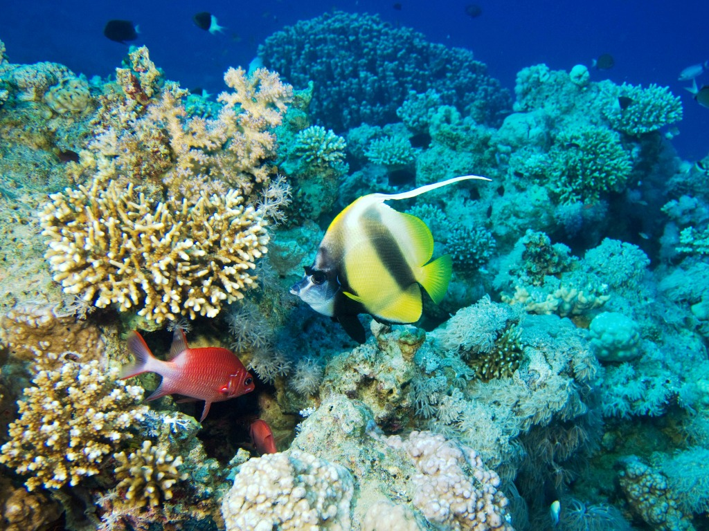 Bannerfish in the red sea jigsaw puzzle in under the sea for Red sea fish