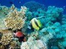 Bannerfish in the Red Sea
