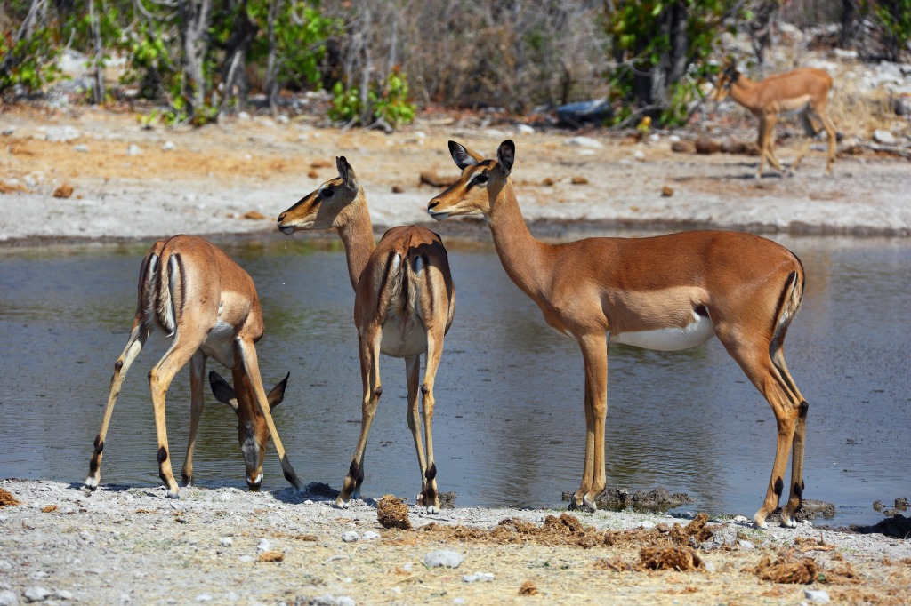 Black-faced Female Impala in Namibia jigsaw puzzle in ... - photo#25