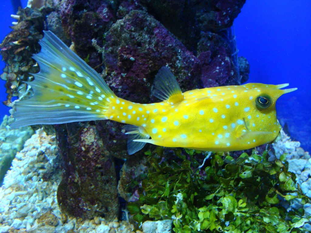 Longhorn Cowfish jigsaw puzzle in Under the Sea puzzles on ...