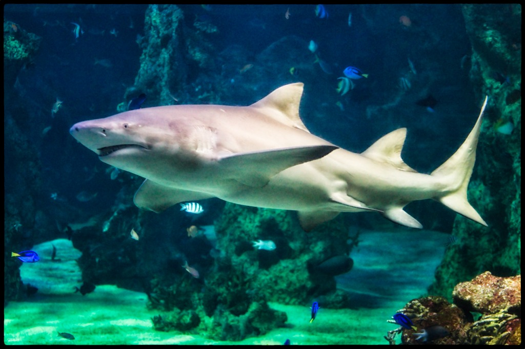 Weißer Hai, Sydney Aquarium jigsaw puzzle in Tiere puzzles ...