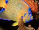 Colorful Young Queen Angelfish