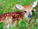 Whitetail Fawn Deer, West Virginia