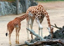 Mrs Giraffe & Junior