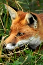 Red Fox, British Wildlife Centre