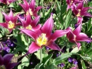 Lily Flowered Tulips, Longwood Gardens