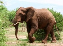 African Elephant Walking
