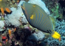 Orange Striped Triggerfish, Red Sea, Egypt
