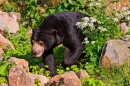 Walking Sun Bear, Burgers Zoo