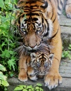 Young Tiger Cubs