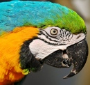 Portrait of a Macaw