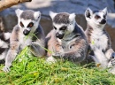 Three Cute Lemurs Eating
