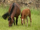 Trakehner Mare and Foal