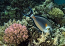 Sohal Surgeonfish, Red Sea, Egypt