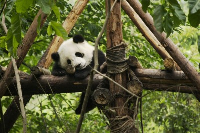 Baby Panda Sleeping Jigsaw Puzzle In Animals Puzzles On