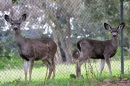 Deer in Santa Teresa County Park