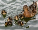 Ducklings and Mum