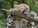 This Leopard Really Loves His Branch